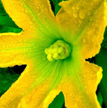 Leinwandbild Direkt Art HOSEUS, Zucchiniblüte gelb 100x100